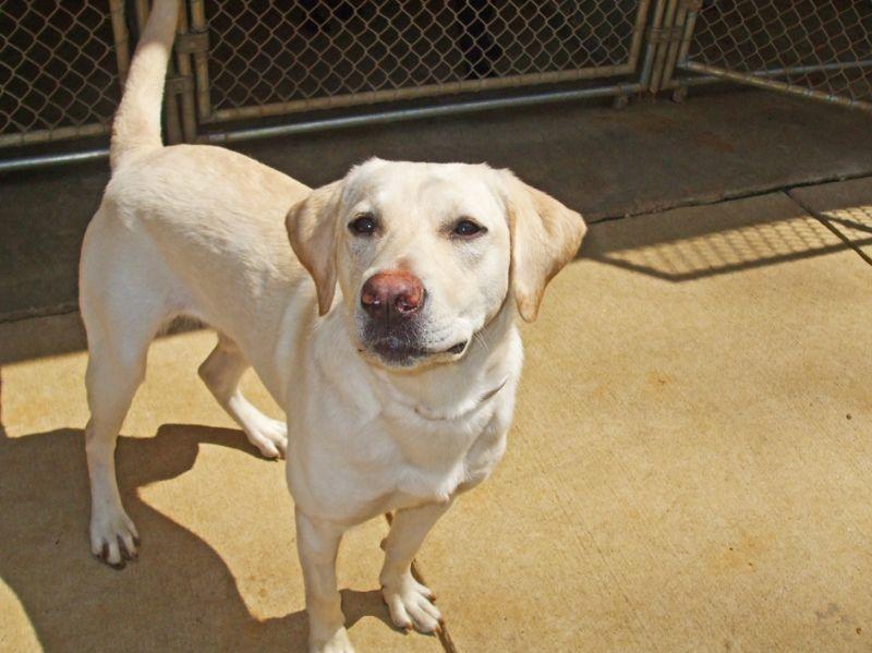 Yellow Labrador Pitbull Mix Google Search Labrador Labrador