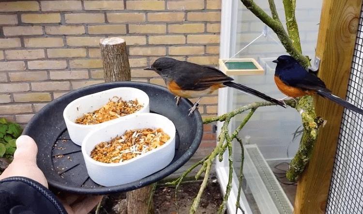 Mengetahui Pakan Terbaik Untuk Murai Batu Ngriwik Dan Macet Bunyi Murai Peternakan Burung