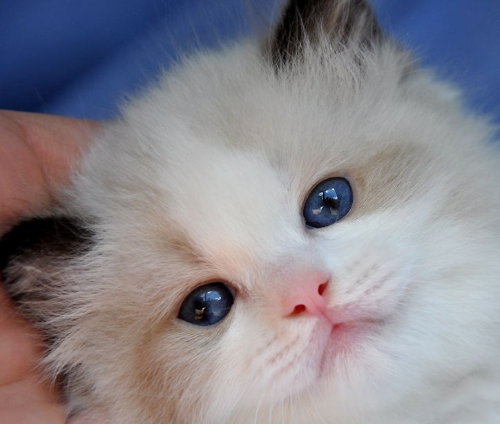 BlueGem Ragdoll photo Gallery Photos of Ragdoll Cats