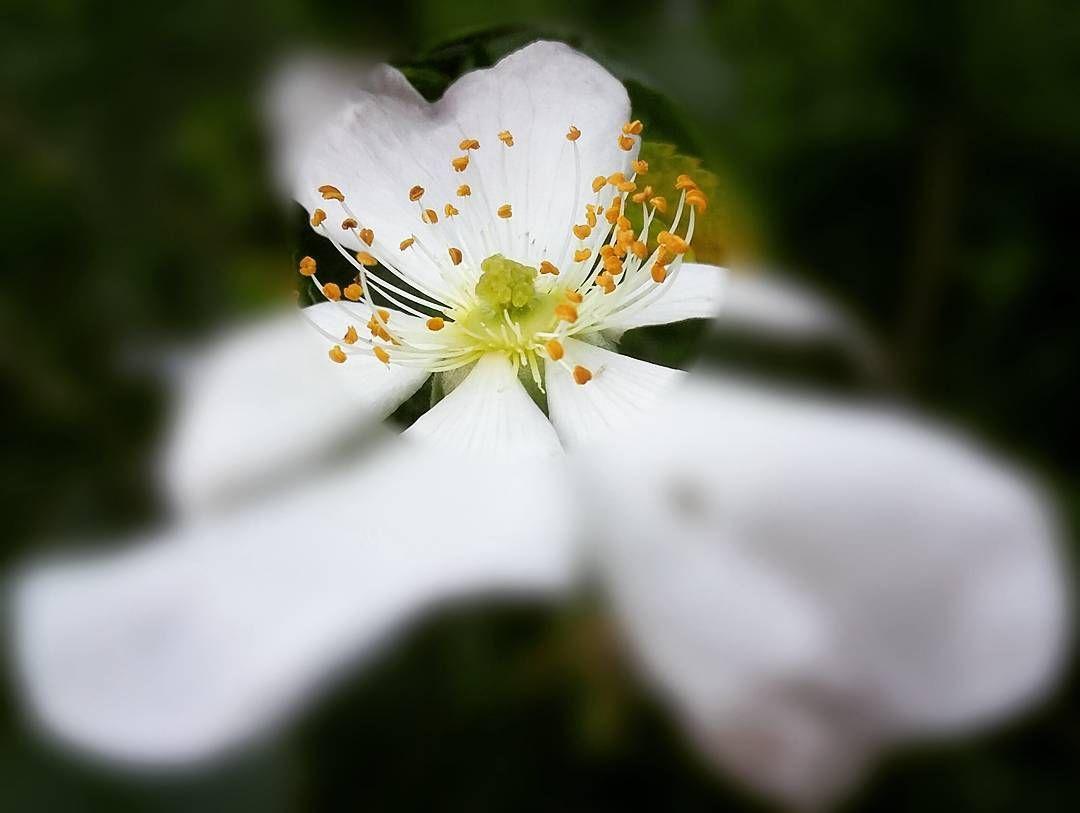 wild rose  . .  #nature #طبيعة #naturalesa #lifeinism #naturaleza #natur #natuur #luonto #טבע #hashtagsgen #alam #natura #自然 #자연 #natureza #природа #doğa #doga #nature_photo #naturepics #naturepic #naturephoto #natureloverforlife #natureart #naturebeauty #nature_seeker #naturelover #best #O2 @hashtags.like by tati_44_
