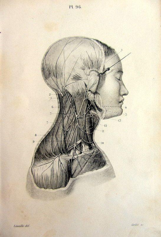 1846 Antique anatomy print, rare cervical plexus engraving, original ...