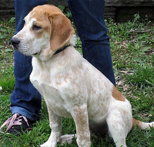 Looks Just Like My Marley Mae Pyrenees Blue Tick Coonhound Mix