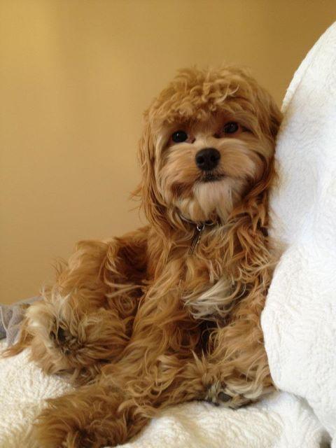 Cutest Dog In The World Cava Maltipoo King Charles Cavalier