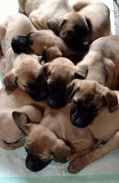 Litter Of 7 German Shepherd Dog Mastiff Mix Puppies For Sale In