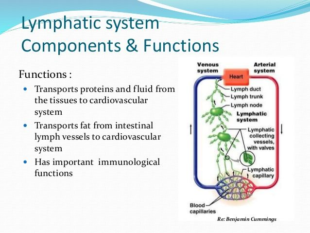 Lymphatic system Components & Functions Functions :  Transports ...