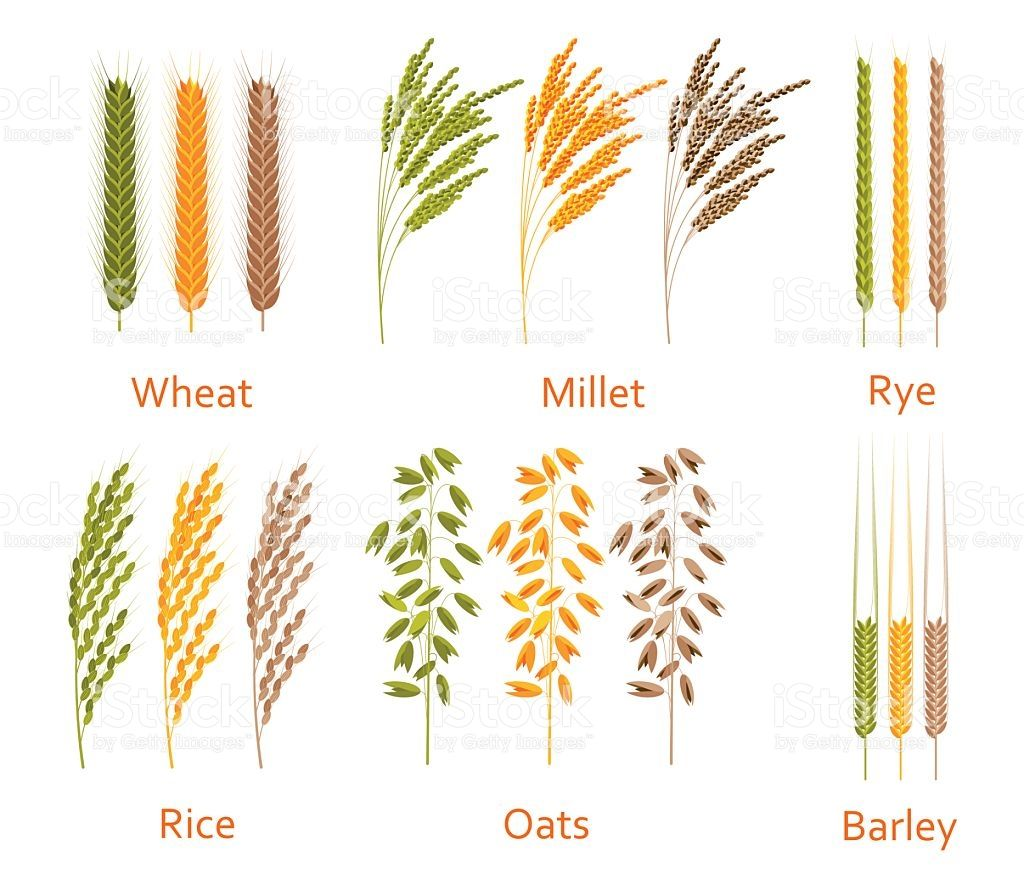 Cereals Plants Set Carbohydrates Sources Colorful Vector