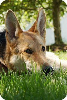 Wayland Ma German Shepherd Dog Meet Harmony A Dog For Adoption