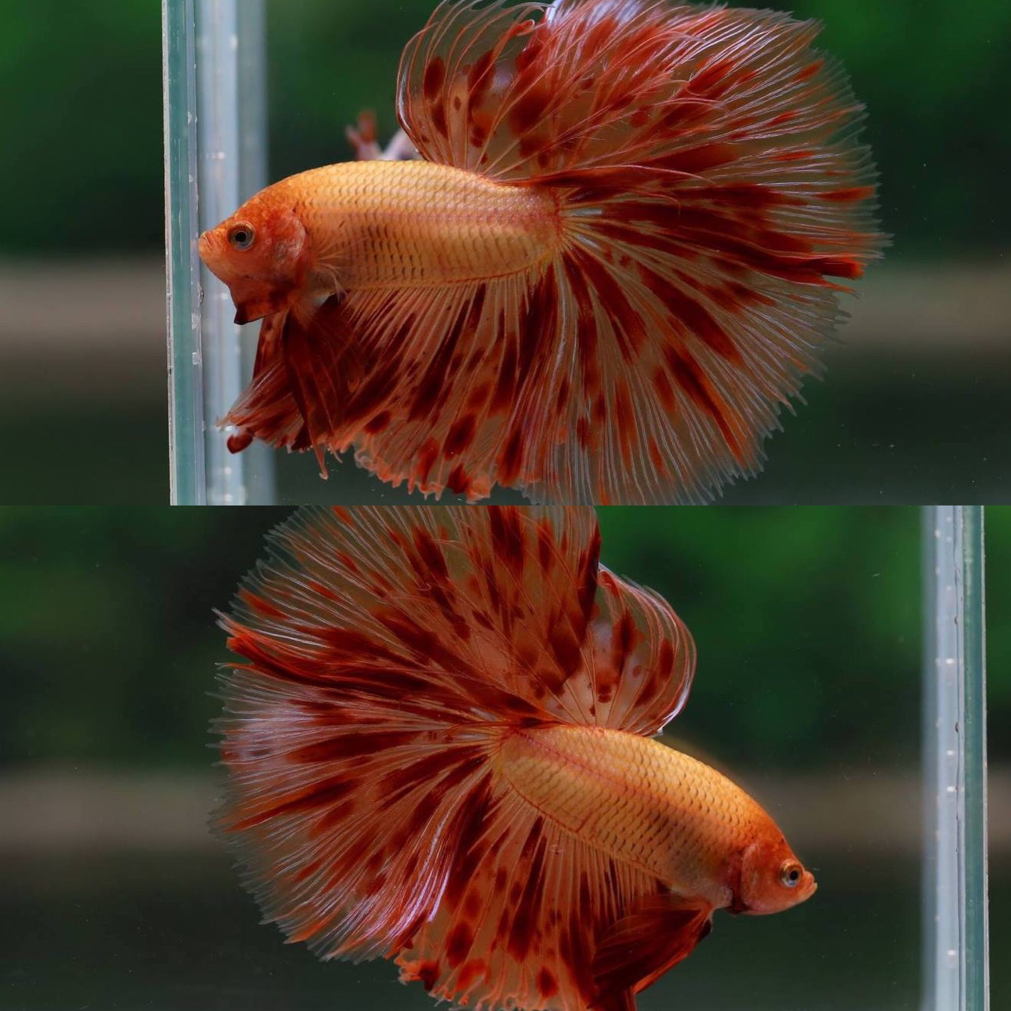 Pin by Fly Like An Eagle on Fish | Pinterest | Betta, Betta fish and ...