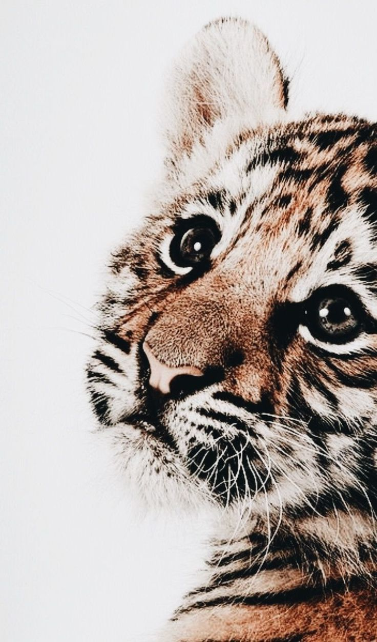 Tiger Nursery Print Schattige Dieren Schattigste Dieren Dieren