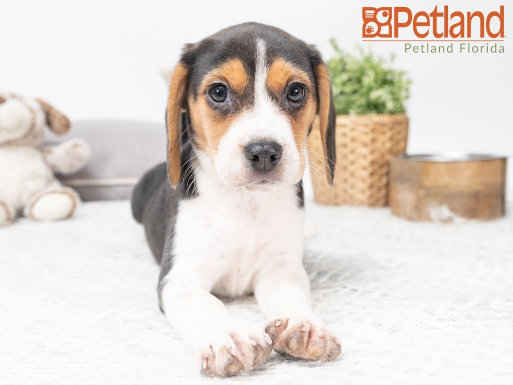 Petland Florida Has Beagle Puppies For Sale Check Out All Our