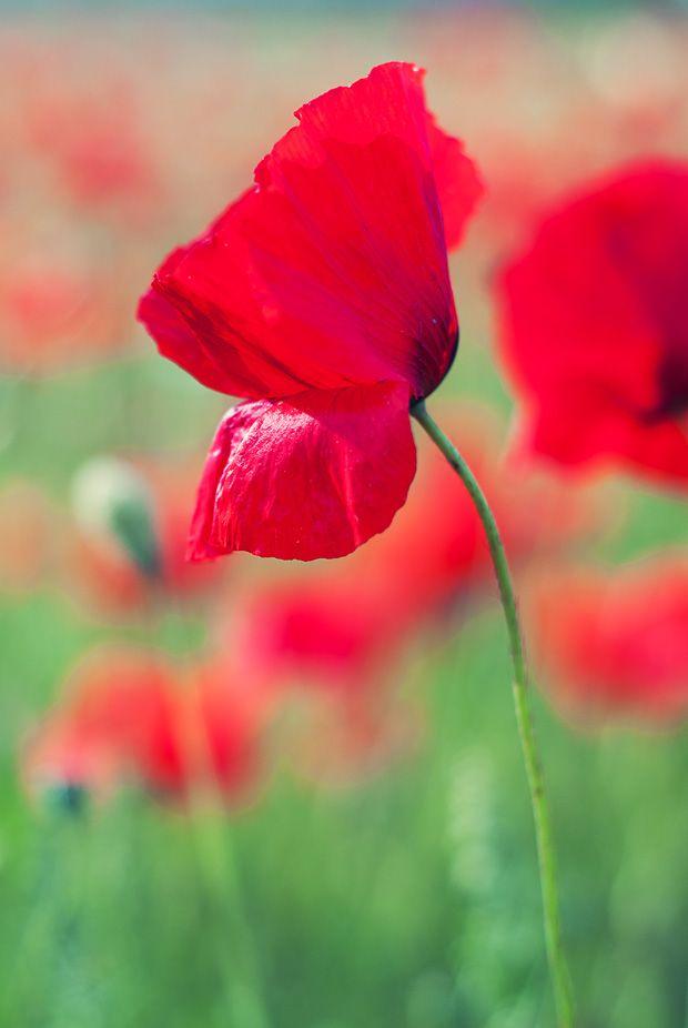 Im Mohnblumenfeld Teil 2 Mohnblume Blumen Sommer