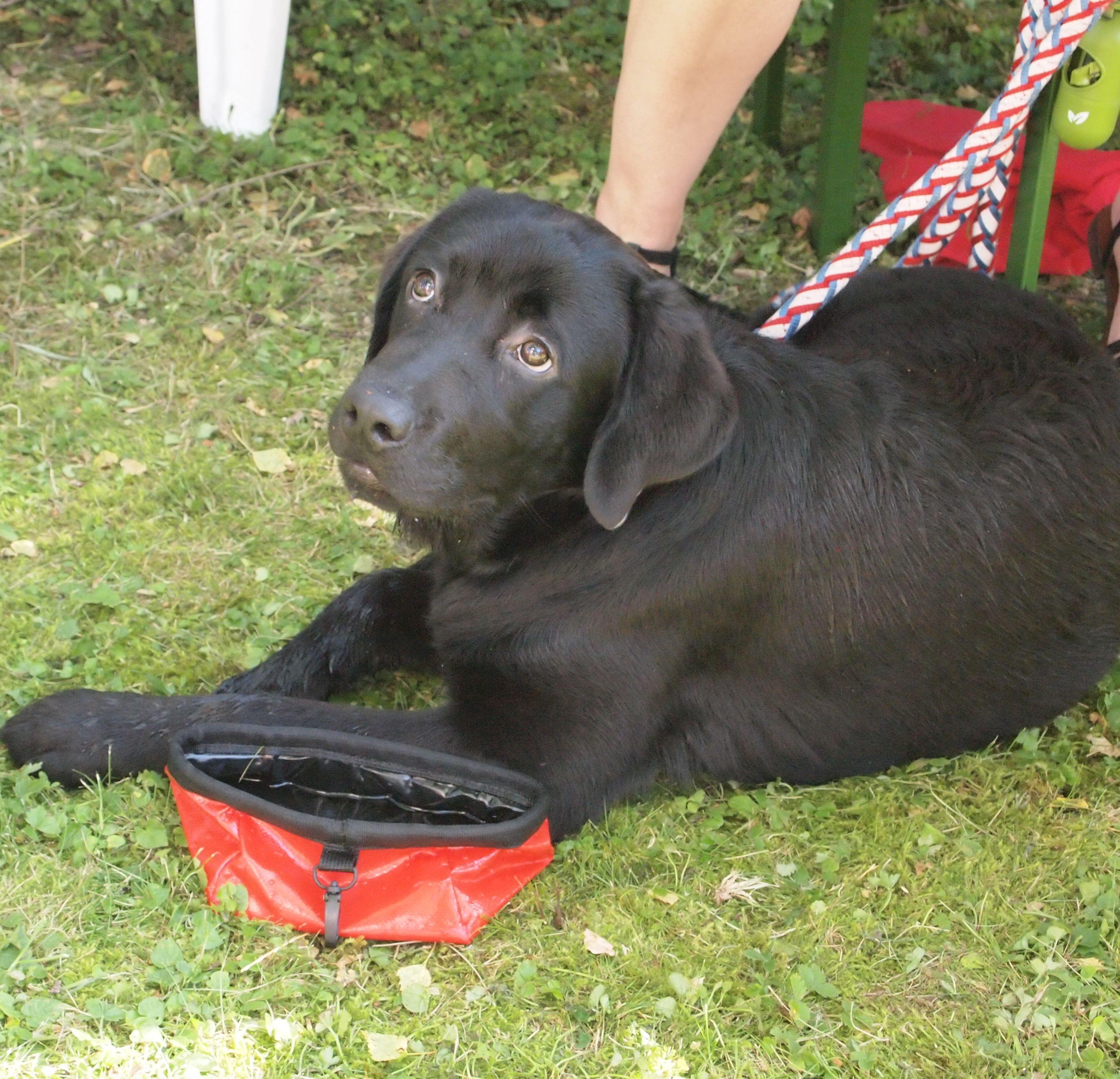 Lilo Labrador Pawshake Lustige Hunde Hunde Bilder Und Hunde