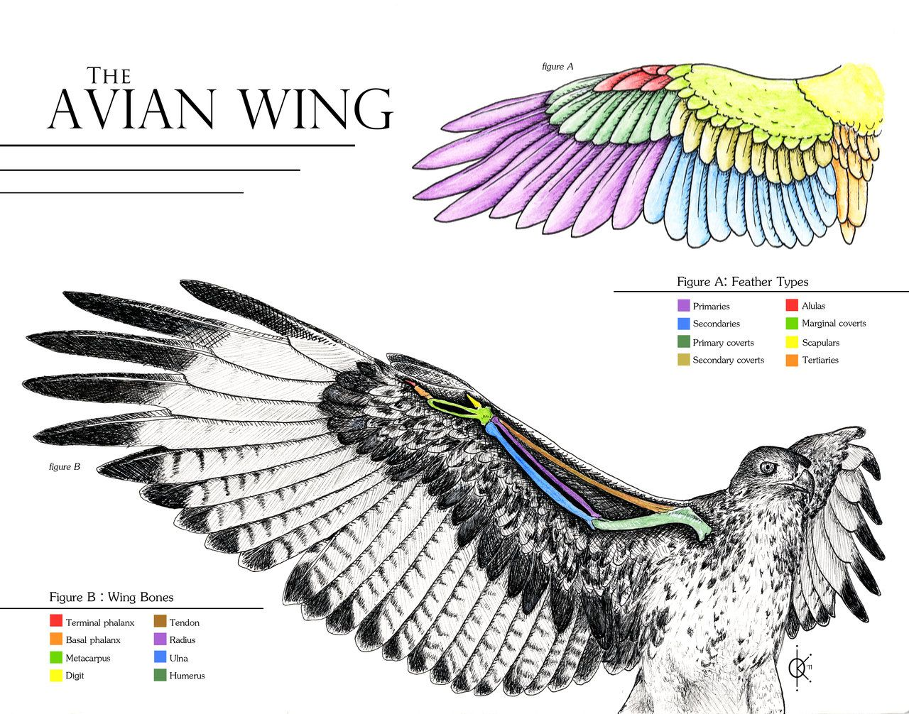 Hawkgirl: Avian Wing Anatomy this can help to show how to place the ...