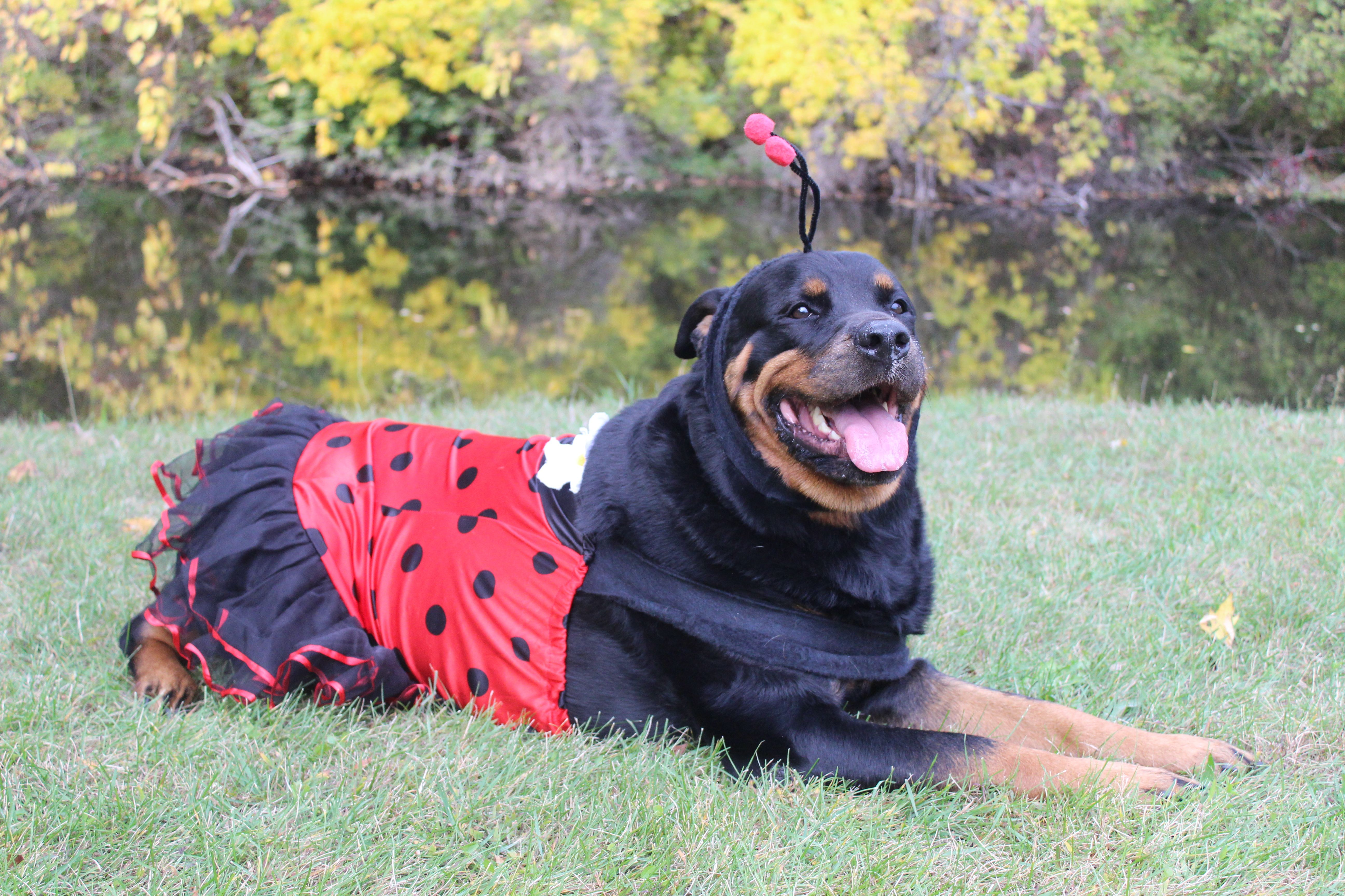 costume idea for a large breed dog moo is wearing a lady bug costume that is adult large just sewed the bottom up a little so it did not hang to low