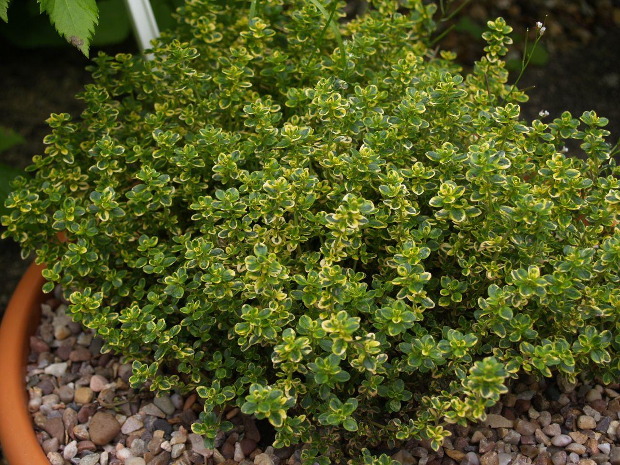 Thymus x citriodorus Zitronenthymian [immergrün]