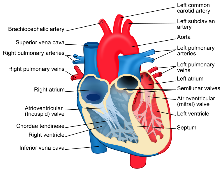 File:Heart diagram-en.svg | Bury Me in a Mason Jar | Pinterest ...