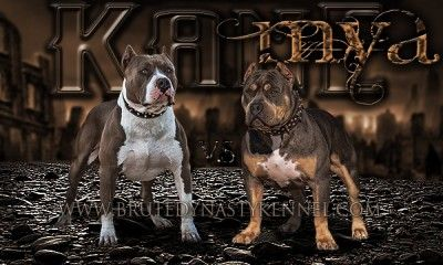 Tri Color American Bully Pitbull Puppies For Sale Breeder