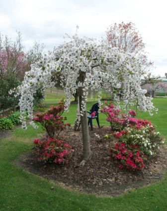 Prunus Snow Fountains R A Gorgeous Weeping Cherry That Surpasses All Others For A Magific Dwarf Trees For Landscaping Landscaping Trees Cherry Trees Garden