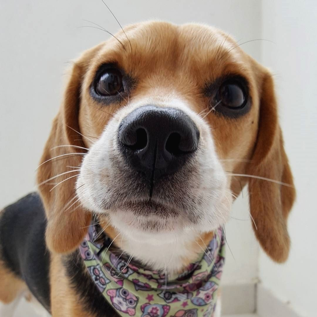 Family Funday Fun Dog Beagle Doglover Love Picoftheday Hkig Cachorros Puppy Puppies Dogs Sunny Park Beagle Cute Beagles Beagle Puppy Beagle Dog