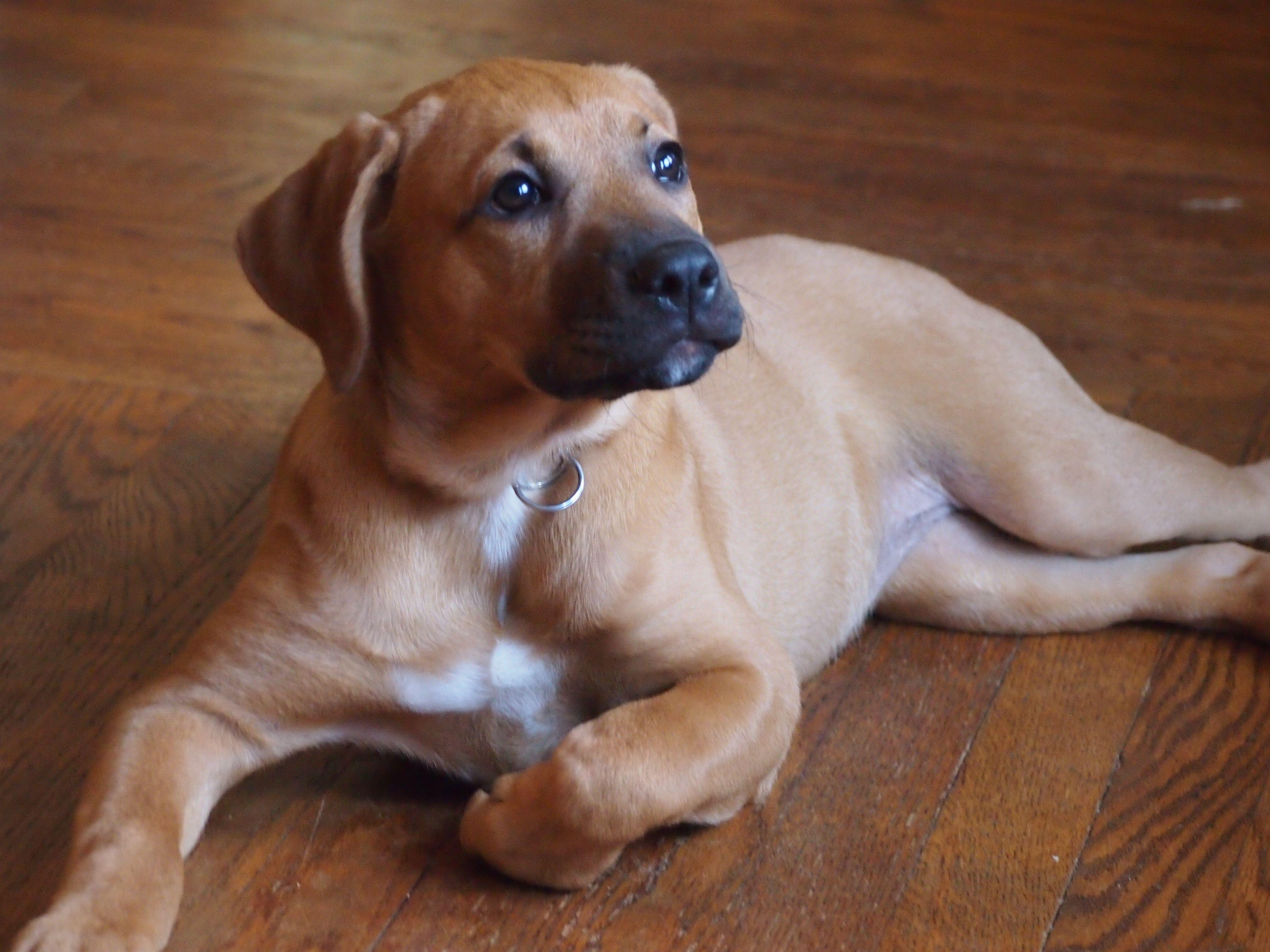 Cool Rhodesian Ridgeback Brown Adorable Dog - 2145a0a2cea34861faf48a6954730f89  HD_259999  .jpg