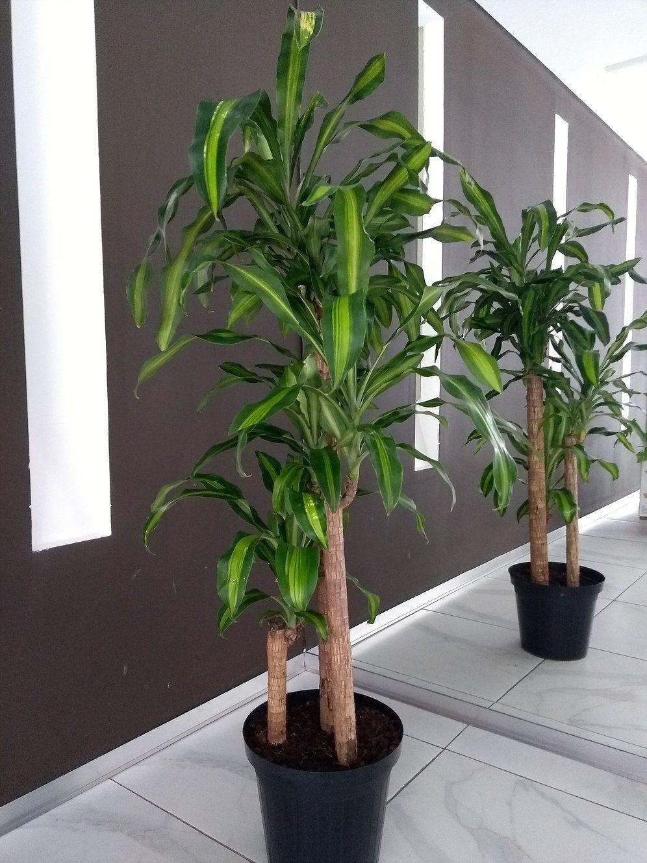 10+ Planta con tronco grueso ideas in 2021