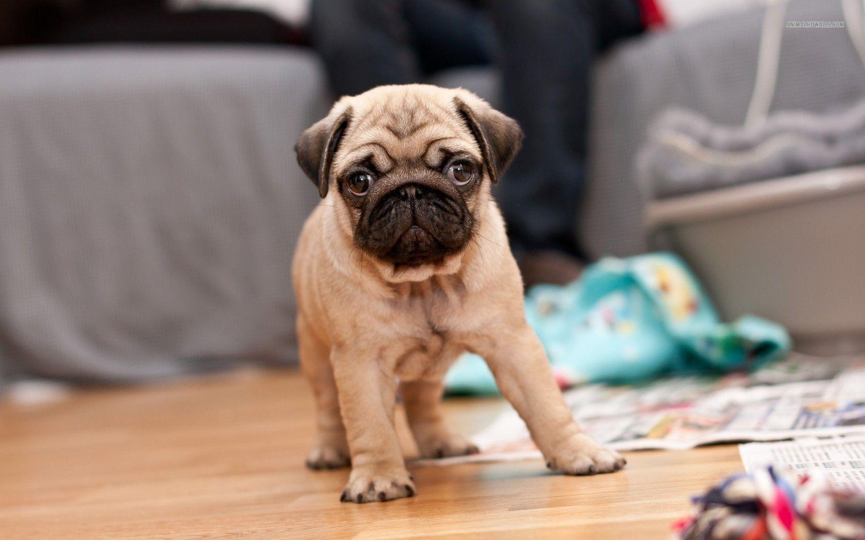 Wrinkly pug puppy prueus stuff pinterest pug puppies pug