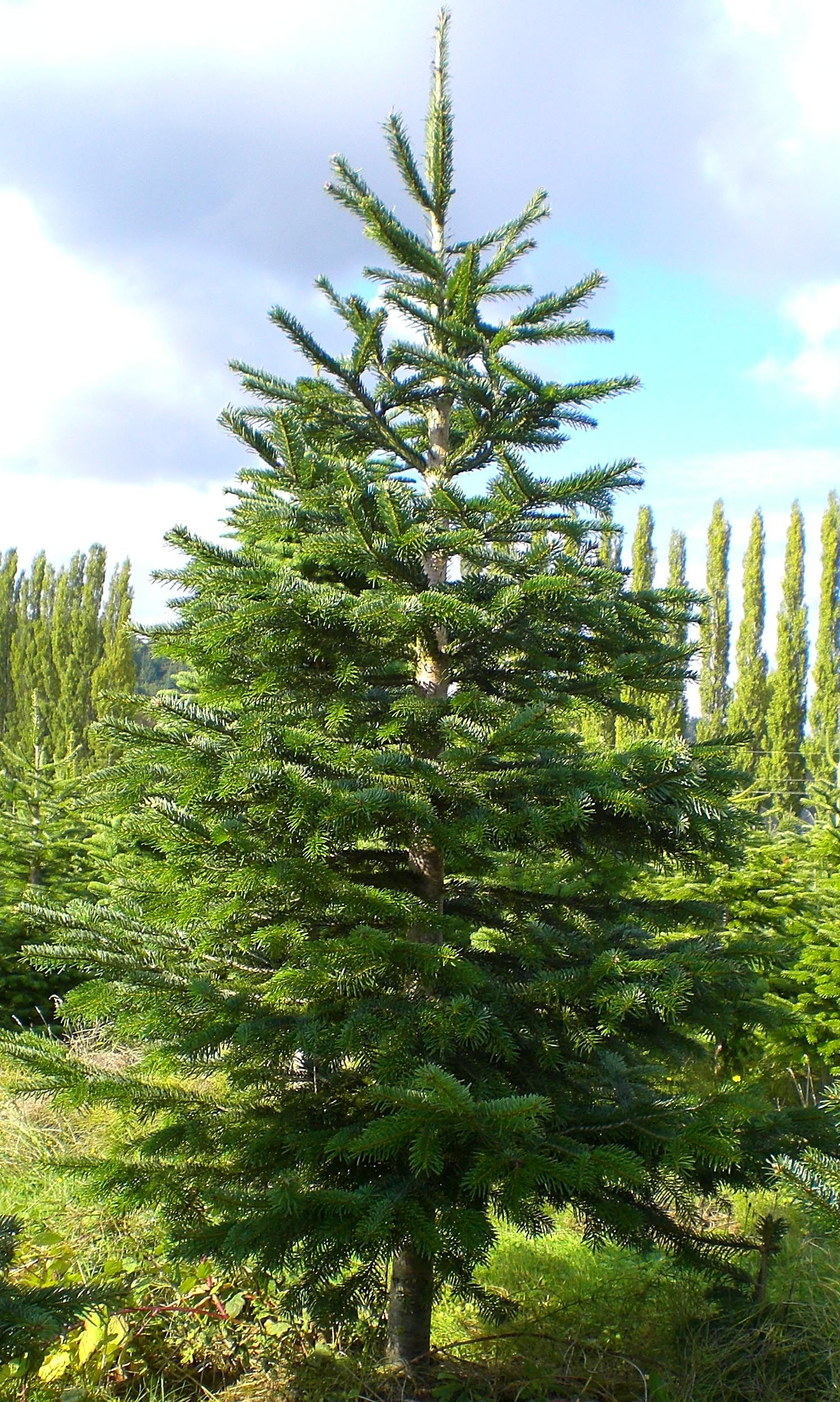 The Noble fir is the best Christmas tree! | Christmas Trees ...