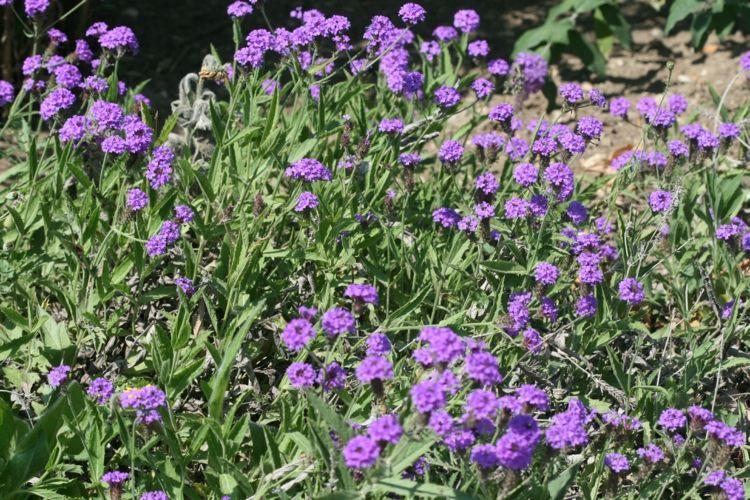 fleur verveine rugueuse en violet en massif ou en bordure pour ...