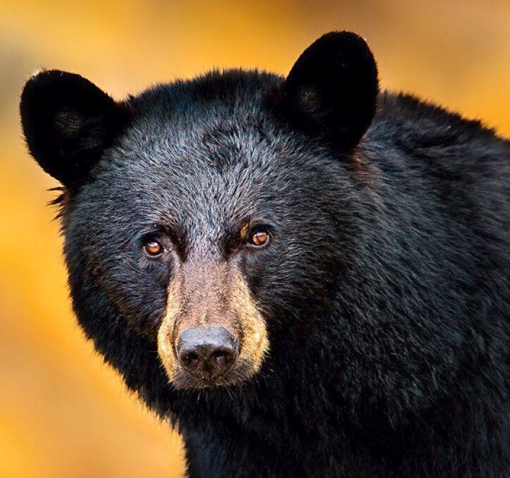 The black bear's range extends across the United States.