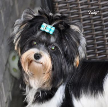 Bbir Biewer Boy Niko Dogs And Puppies Puppies For Sale Beautiful Boys