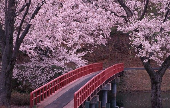 This Is An Image Of A Sakura Flower Garden In Japan There Is A Bridge Connecting Two Strips Of Land Th Arbre Fleuri Jardin Japonais Fleur De Cerisier Japonais