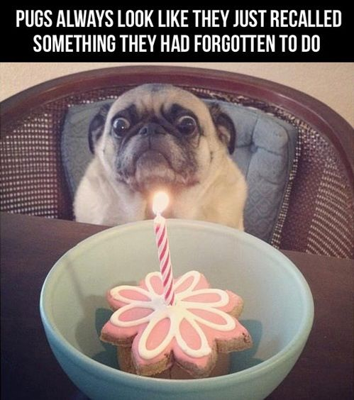 10 Cute Things Pugs Do Best Funny And Cute Pugs Love This