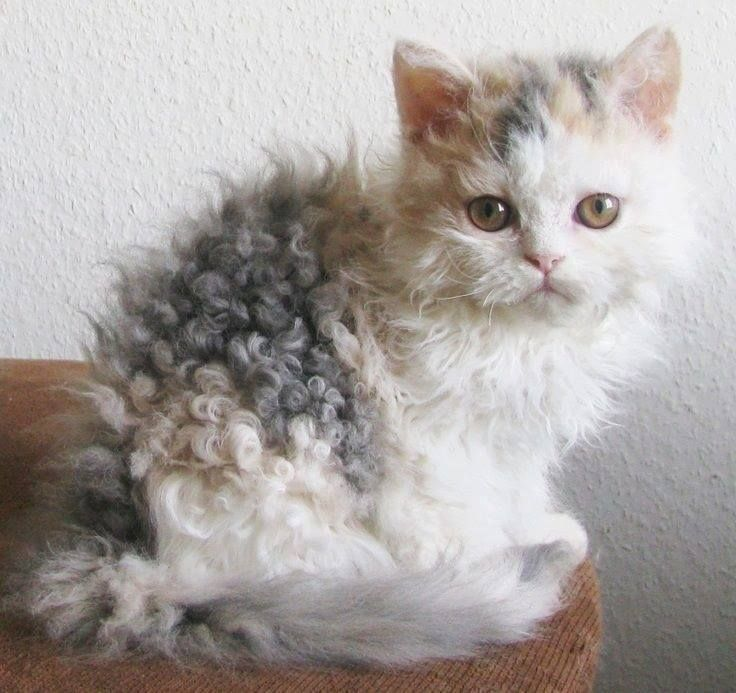 Best Images And Photos Ideas About Selkirk Rex Cat