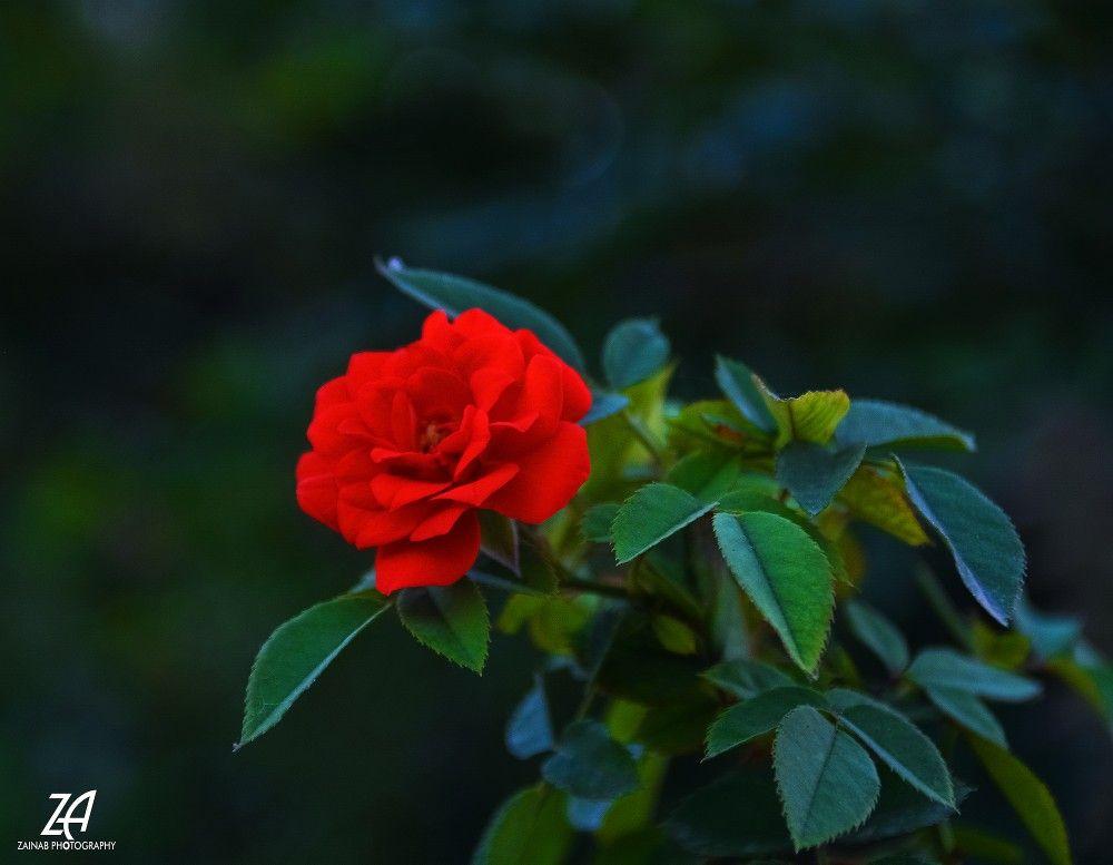 الإنسحابات التي تحفظ الكرامة هي بحد ذاتها انتصارات C Zainab Photography صباح الخير صورة ورود خواطر تصوير تصويري عدستي كاميرا Plants Flowers Photography