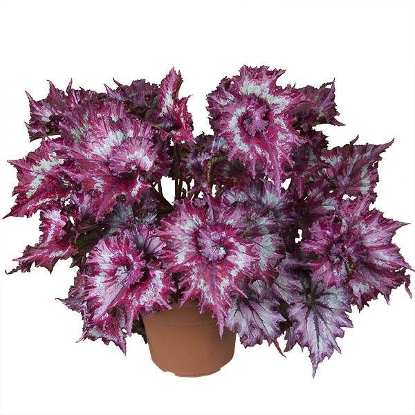 Begonia Tie Dye Begonia Rex Hybrid Plants Bonsai Flower Flower Pots