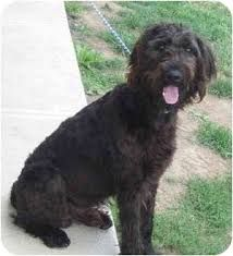 Image Result For Redbone Coonhound Mix With Poodle Coonhound