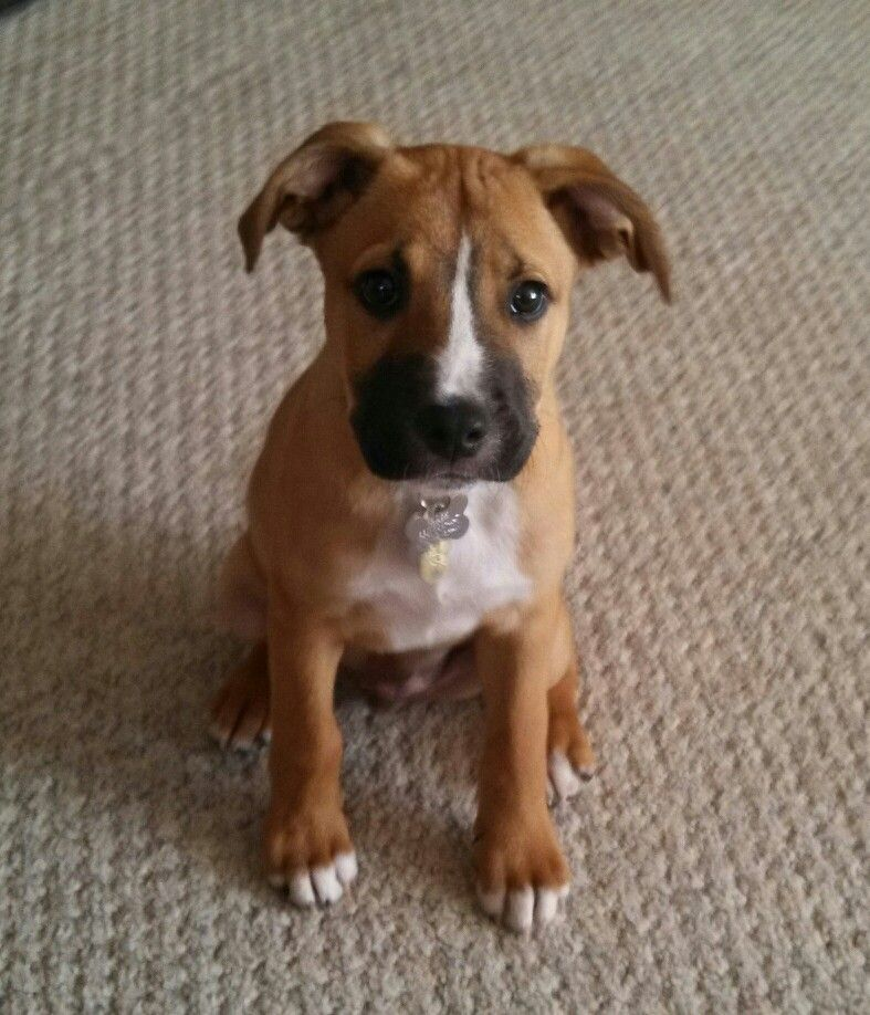 Boxer Lab Puppy 13 Weeks This Looks Like My Dog He S A Rescue