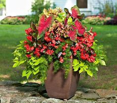 with Flair Annual Collection This container requires shade/part-shade in our area: Big-leaved Caladium 'Florida Cardinal', ruffly Coleus 'Mint Mocha', Ipomoea 'Sweet Caroline Light Green' and Asparagus densiflorus 'Sprengeri'This container requires shade/part-shade in our area: Big-leaved Caladium 'Florida Cardinal', ruffly ...