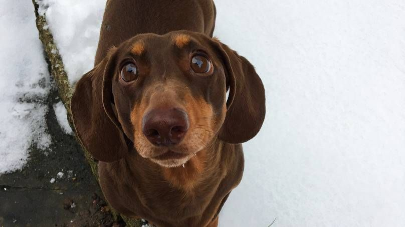 Pretty Please Stay Home From Work Today Wiener Dog Cute Dogs