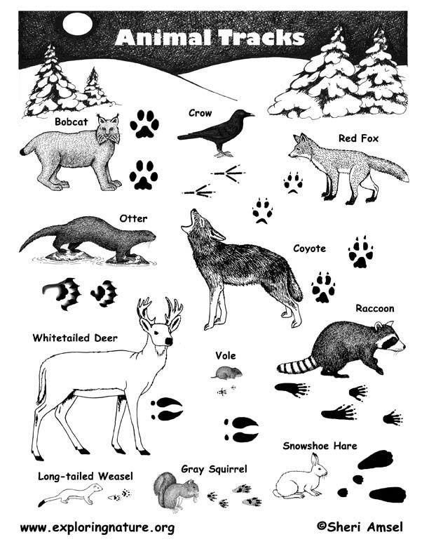 Printable Animal Tracks Worksheet