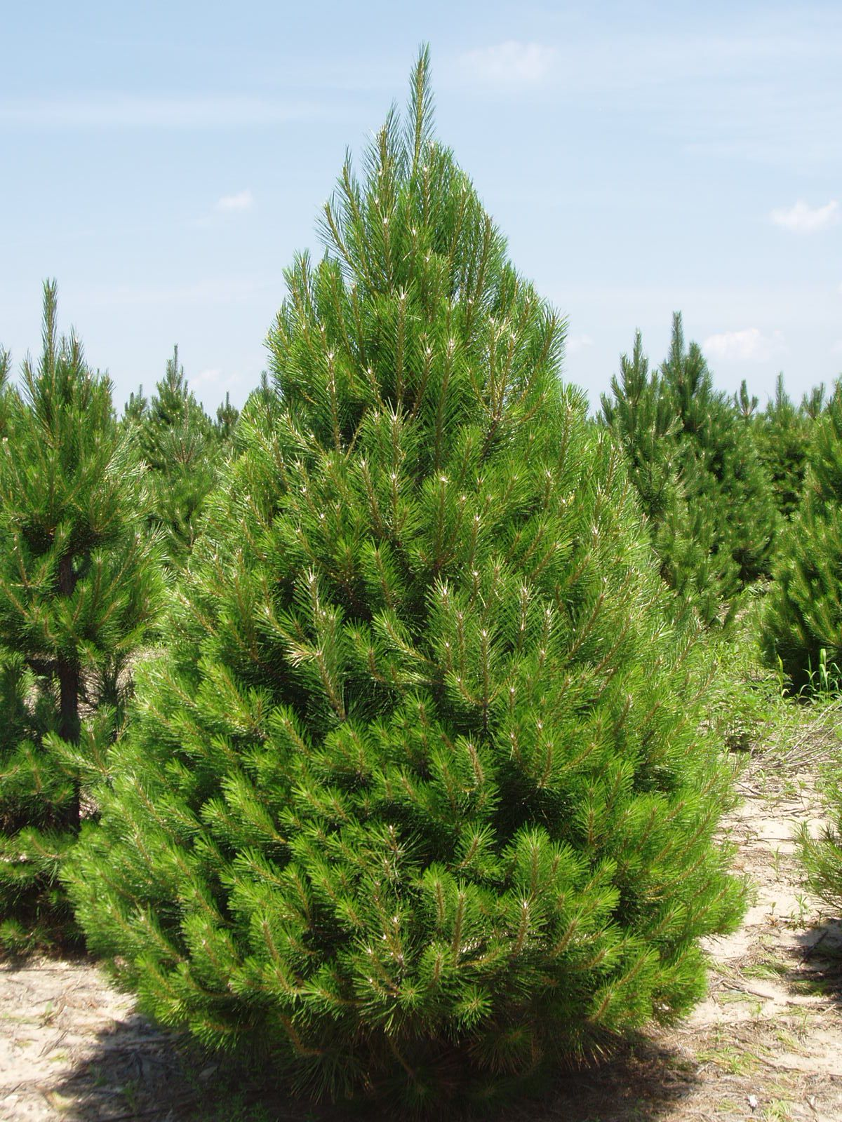 List Of Trees In Michigan Grown Evergreen Balled Burled Nursery Stock