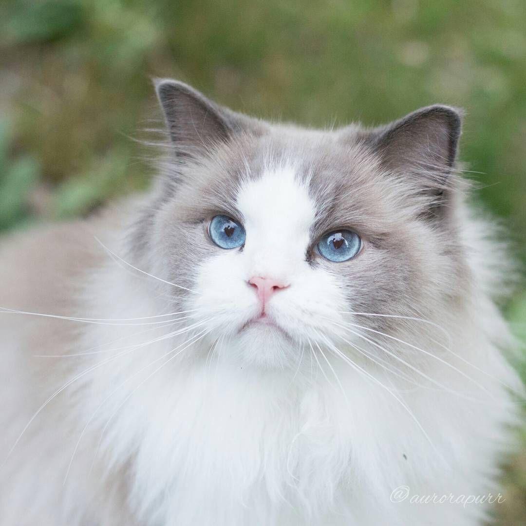 Russian Blue Cats Long Hair Ragdoll Cat Colors Ragdoll Cat Russian Blue Cat