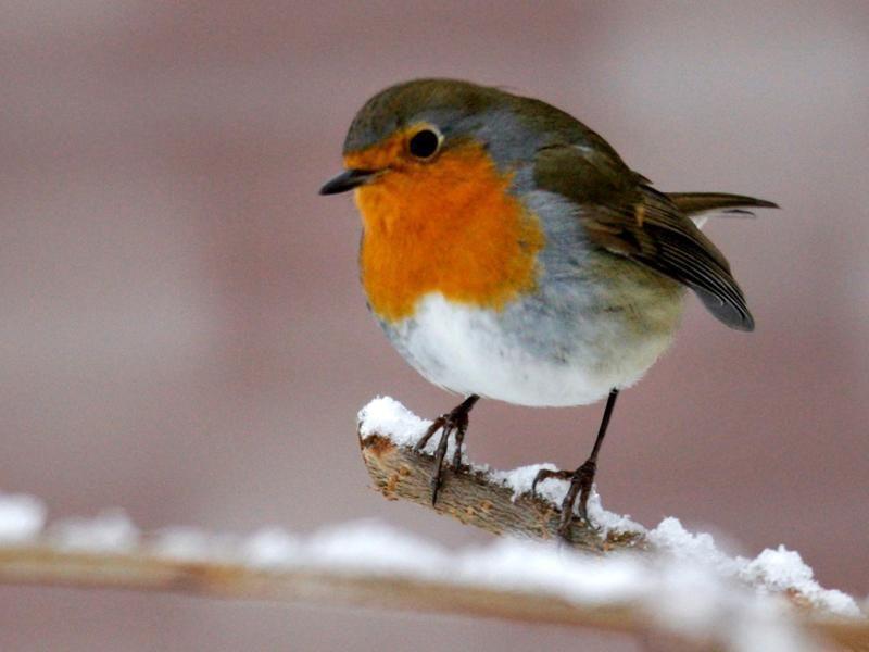 rotkehlchen  rotkehlchen kleine vögel heimische singvögel