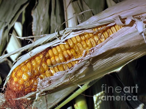 Aged corn and stalks used for fall decorations