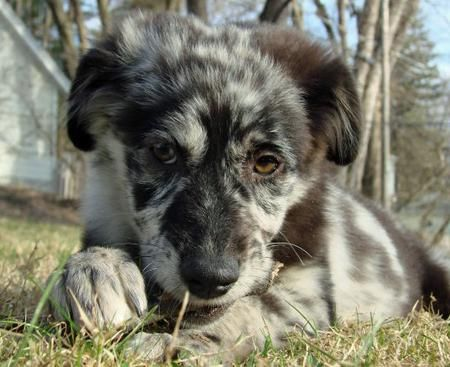My Future Running Buddy When I Grow Up And Can Take Care Of This Furbaby Australian Shepherd Mix Puppies Australian Shepherd Australian Shepherd Mix
