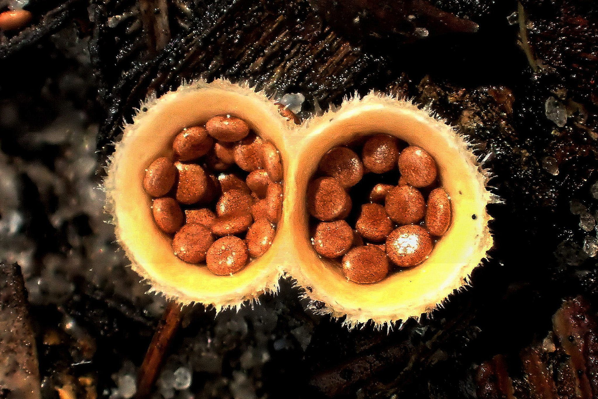 https://flic.kr/p/Jz8fS3   BIRD'S NEST Fungi - Nidula niveotomentosa   Many thanks to everyone who takes the time to view, fave and comment on my photos - ALWAYS APPRECIATED !!!!!