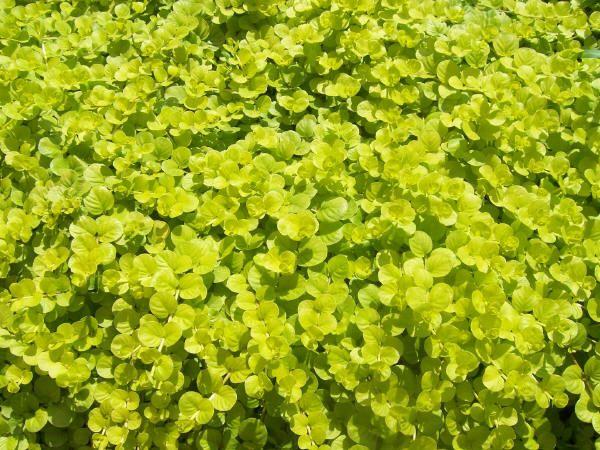 PlantFiles Pictures: Creeping Jenny, Moneywort 'Goldilocks ...