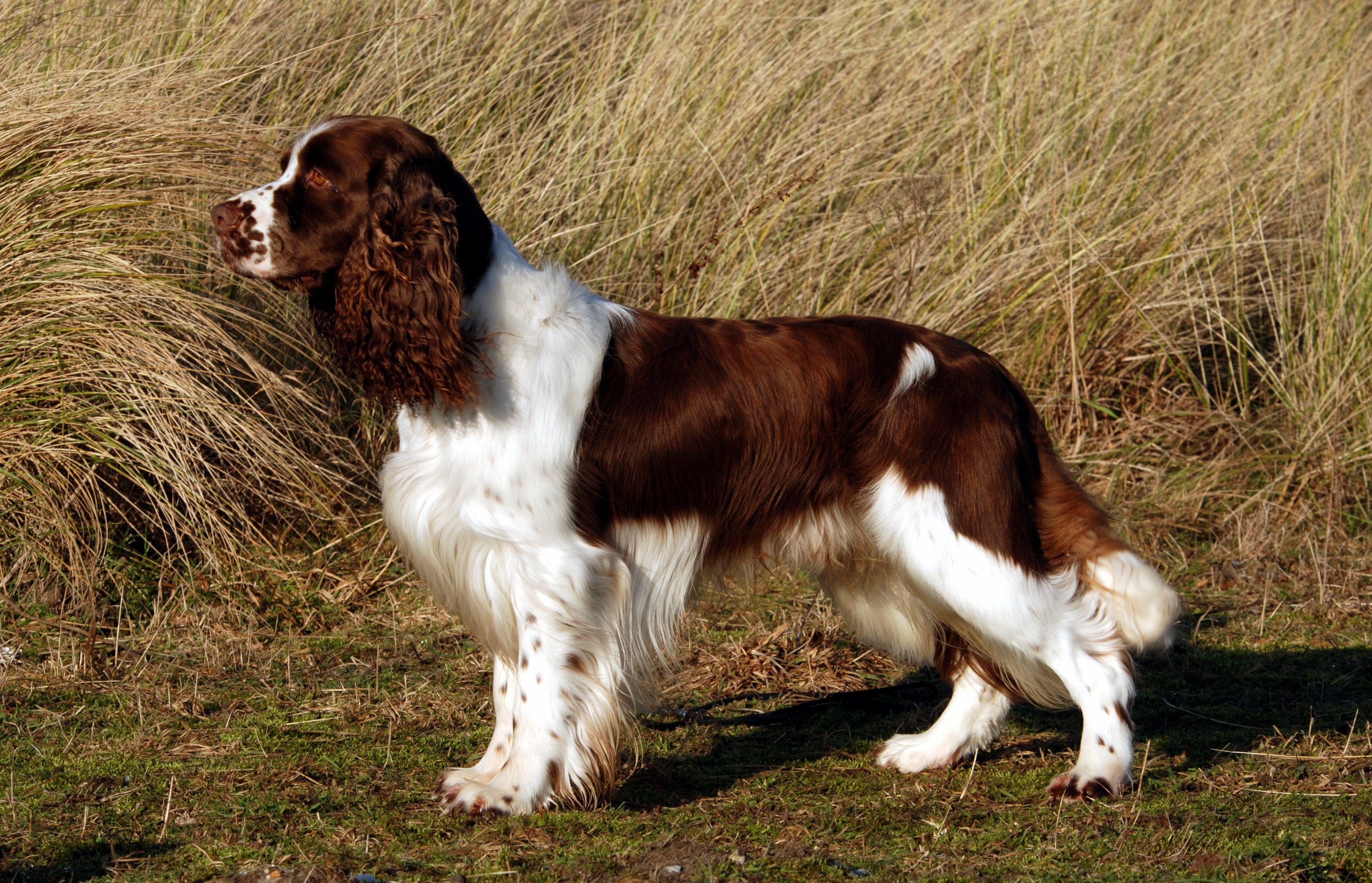 Top Dog Toys For English Springer Spaniel Springer Spaniel Spaniel Dog Breeds