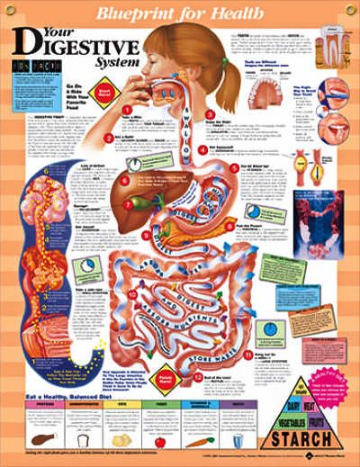 Your Digestive System Chart 20x26   Digestive system ...