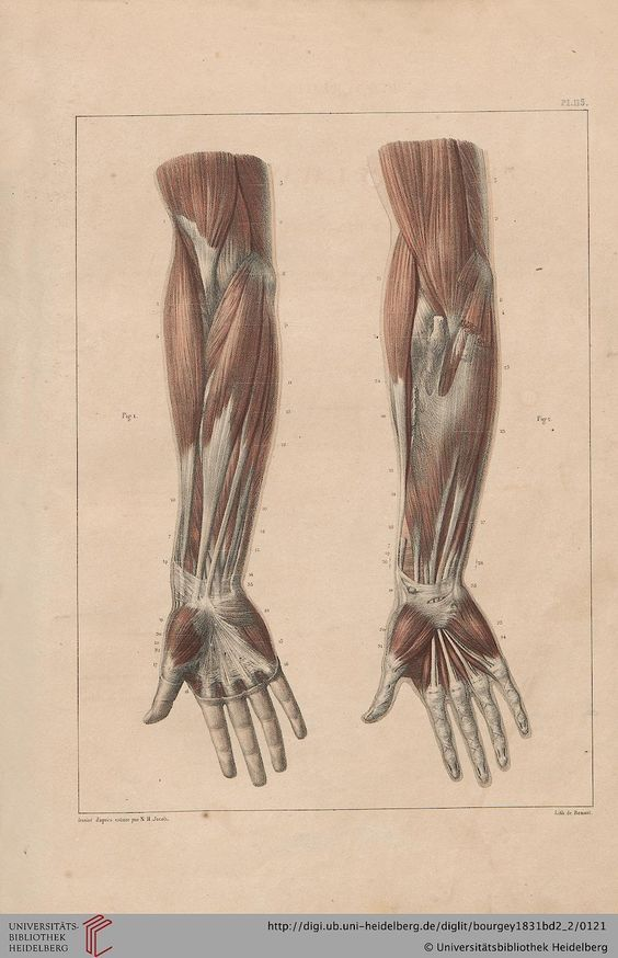 Anatomy Of Lower Arm And Hand Arms Pinterest Anatomy